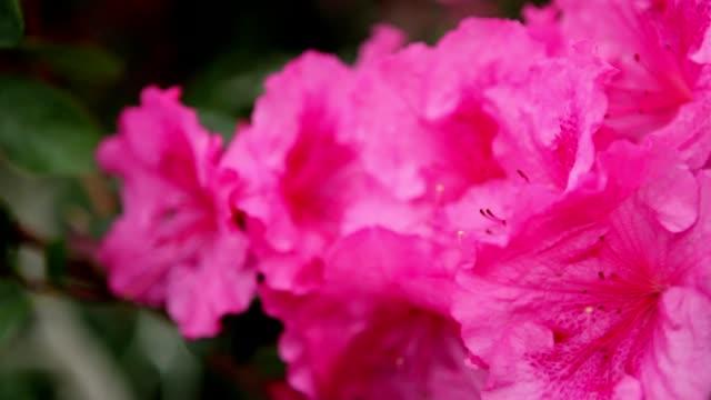 Water Drops on The Azalea Petals of Pink Closeup video