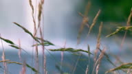 Water fountain on background of grass spike. Close up of yellow grass video