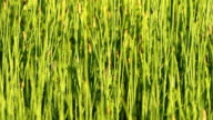 Water horsetails moving in a light wind video