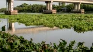 Water Hyacinth bloom cover a river in Thailand video