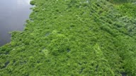 Water Hyacinth cover a river in Thailand video