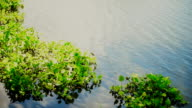 Water Hyacinth in the River video