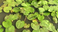 Water lilies big round leaves spread on the surface of the lake, winding  in a light summer breeze video