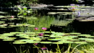 Water Lilies in Pond video