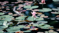 Water Lily Flowers,at Showa Memorial Park,Tokyo,Japan video
