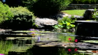 Water Lily in Pond video