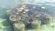 water lily plant in water pond video