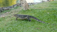 water monitor lizard(Varanus salvator) at Lumphini park, Bangkok video