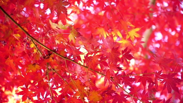 Water reflection on red maple leaves in autumn video