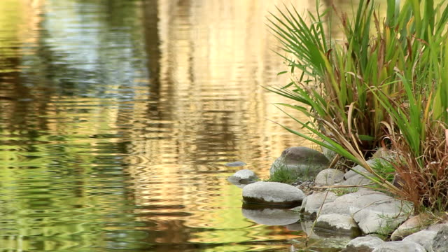 Water Ripples near Rocks and Reeds video