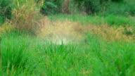 Water Sprinkler Watering Lemon grass Plants. video