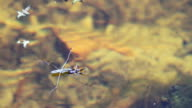 Water striders on water eating spider video