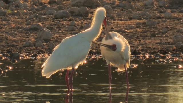 Waterbirds - Loeffelvogel video