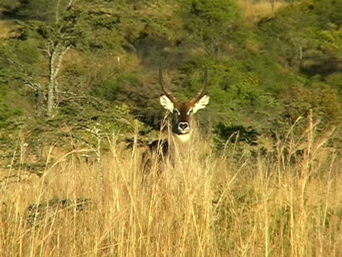 Waterbuck video