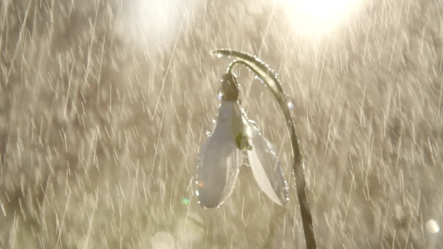 CLOSE UP: Waterdrops falling and sliding down the spring flower called snowdrop video