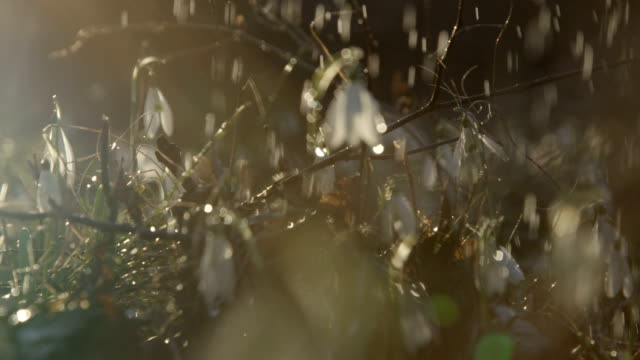 DOF: Waterdrops falling on beautiful white early spring flowers on sunny day video
