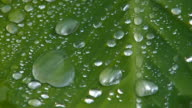 HD Waterdrops flowing down green leaf, Macro, closeup video