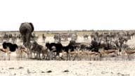 Waterhole in Etosha with many animals video
