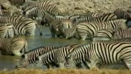 waterhole_Zebra video