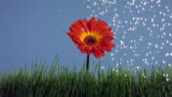 Watering a flower, slow motion video