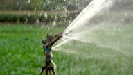 Watering corn field video