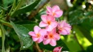 Watering Pink Flowers Frangipani video