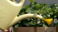 watering strawberry blooming bushes video