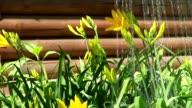 Watering Yellow Star-of-Bethlehem(Gágea lútea). video