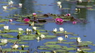 Water-lilies in a pond video