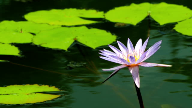 Waterlily video
