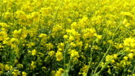 Waving rapeseed plant in the field video