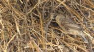 Weaver bird nest video