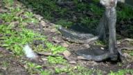 Webbed bird feet walking by in HD 1080i. video