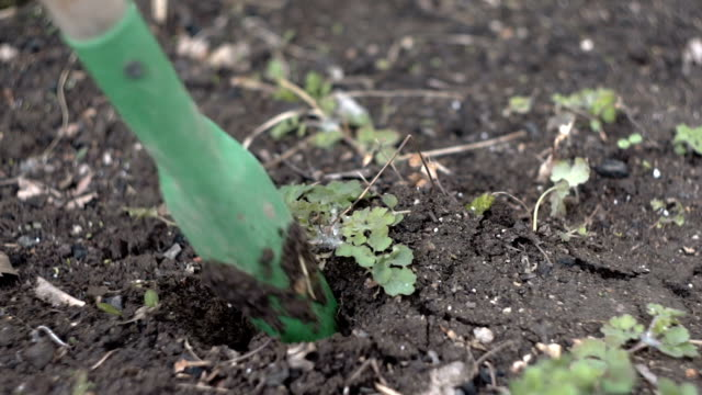 Weeding and loosening of the soil video