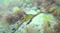 Weedy Sea Dragon Australia HD video