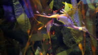 Weedy sea dragon video