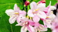 Weigela florida flower blooming in a time lapse video on a green background. Time lapse of Weigela florida flower in motion. video