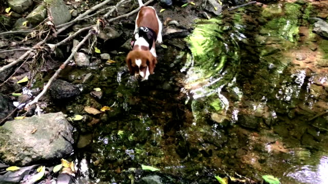 Welsh Springer Spaniel puppy playing in the creek video