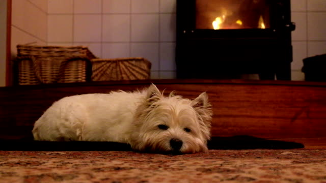 West highland white terrier dog relaxing in front of woodburner fire on rug video