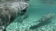 West Indian Manatee Breath of Air video