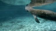 West Indian Manatee takes a breath video