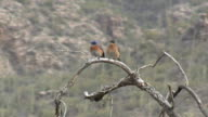Western Bluebirds Perched On Branch In Sonoran Desert video
