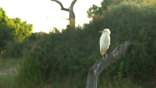 Western Cattle Egret video