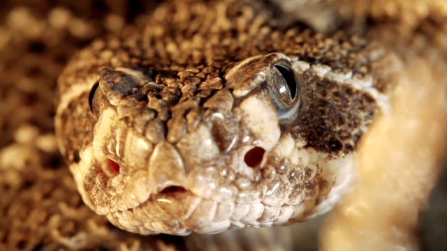 Western Diamondback Rattlesnake video