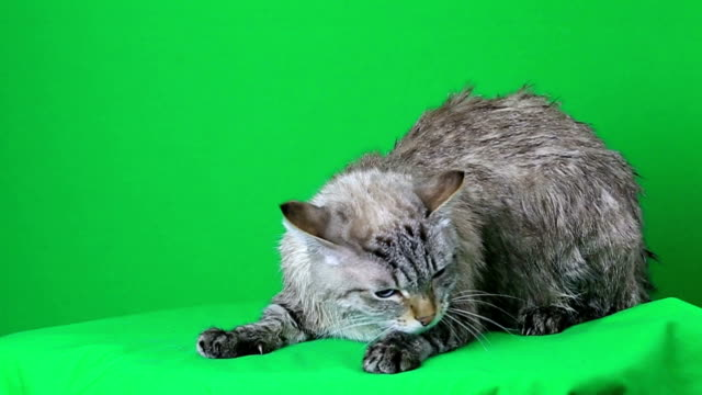 Wet cat lies and freezing video
