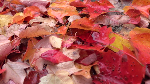 CLOSE UP: Wet colorful leaves full of raindrops after raining in autumn forest video