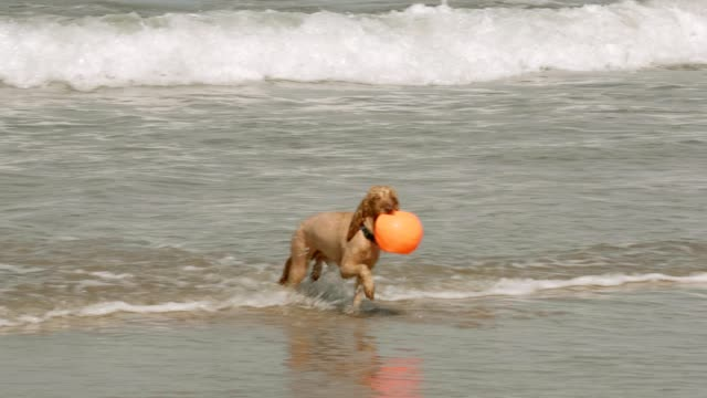 Wet dog fetches ball from the sea video