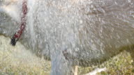 Wet dog shaking off water from his fur at nature. Golden retriever or labrador after swims in the lake. Slow motion video