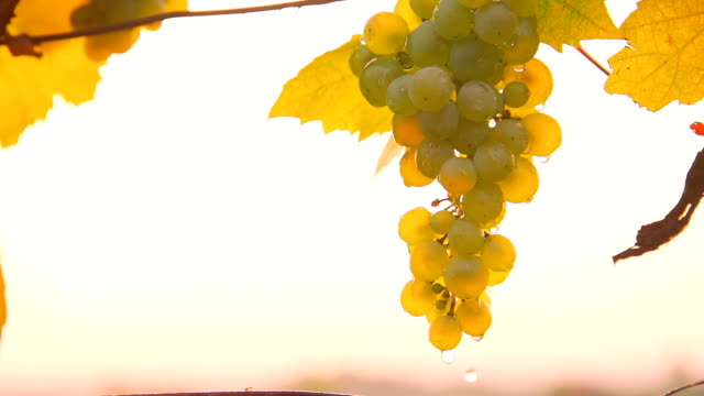 HD SUPER SLOW-MO: Wet Grapes In A Vineyard video