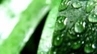 Wet Green Leaves video